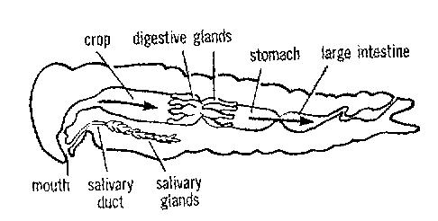 Large Intestine Location In Human Body as well Science moreover Homeschool Digestive System furthermore Parts Of A Kidney Diagram moreover Organism System Organs Cells. on digestive system organs